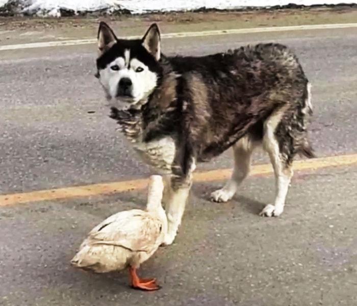 История невероятной дружбы утки Кьюкерса с псом Максом