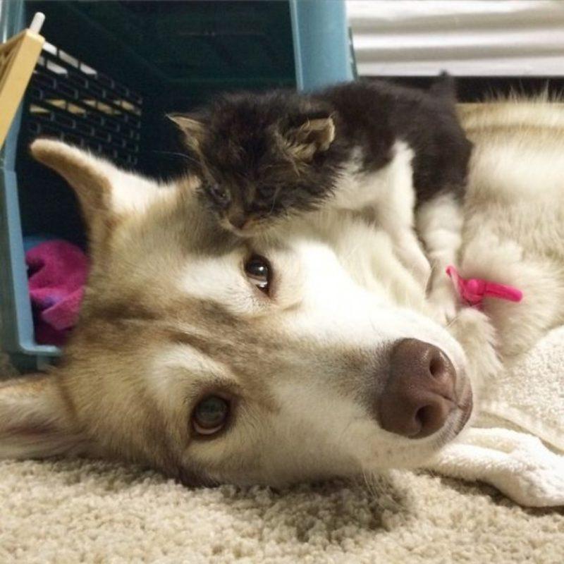 Котенок, выращенный хаски, думает, что он собака