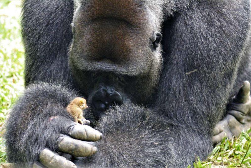 Гигантская горилла Бобо подружилась с совсем крошечным зверьком