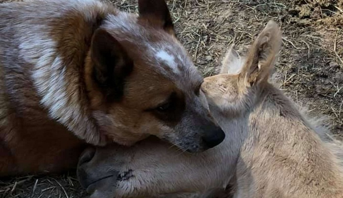 Этот жеребенок остался без мамы, но на помощь пришел старый, добрый пес